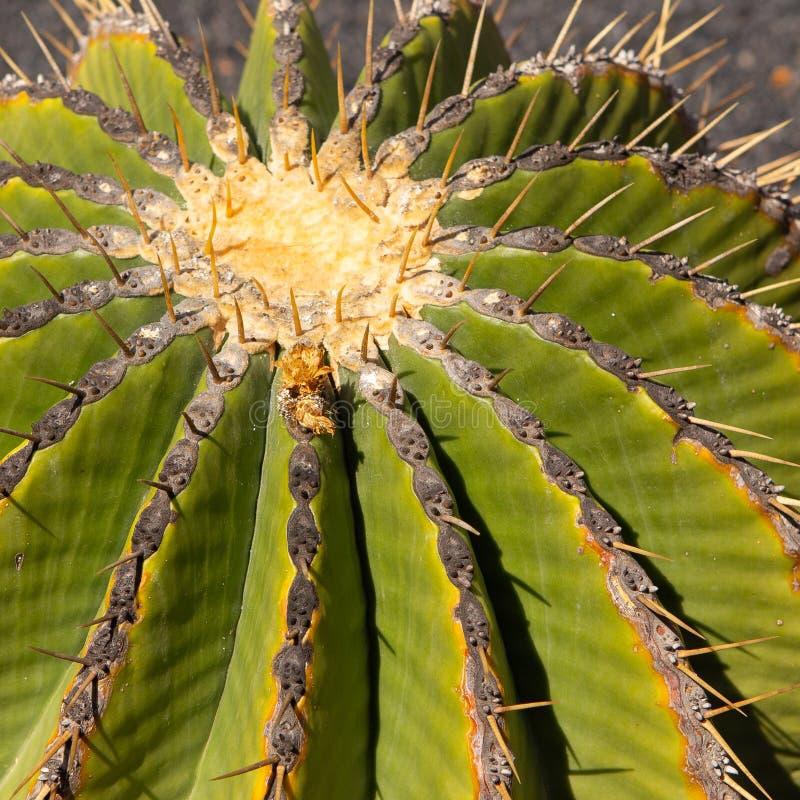 Dessus d'un cactus de baril images libres de droits