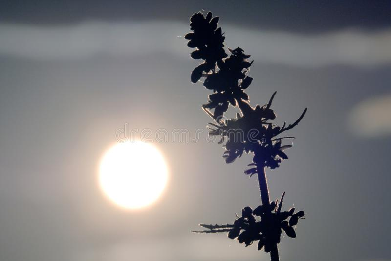Dessus de chanvre Inflorescence de cannabis Jeune pousse de marijuana contre le ciel de soirée ou de matin Disque de Sun ou plein photos libres de droits