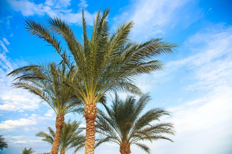 Dessus des paumes ensoleillées vertes contre le ciel bleu lumineux photo libre de droits
