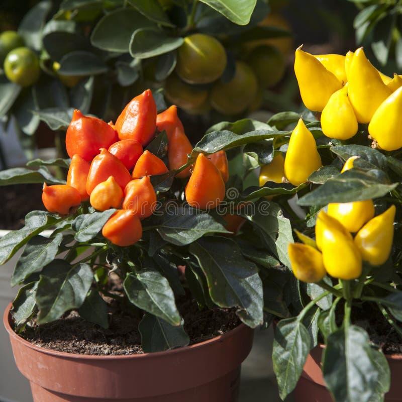 Dessus des usines ornementales oranges de poivron images stock