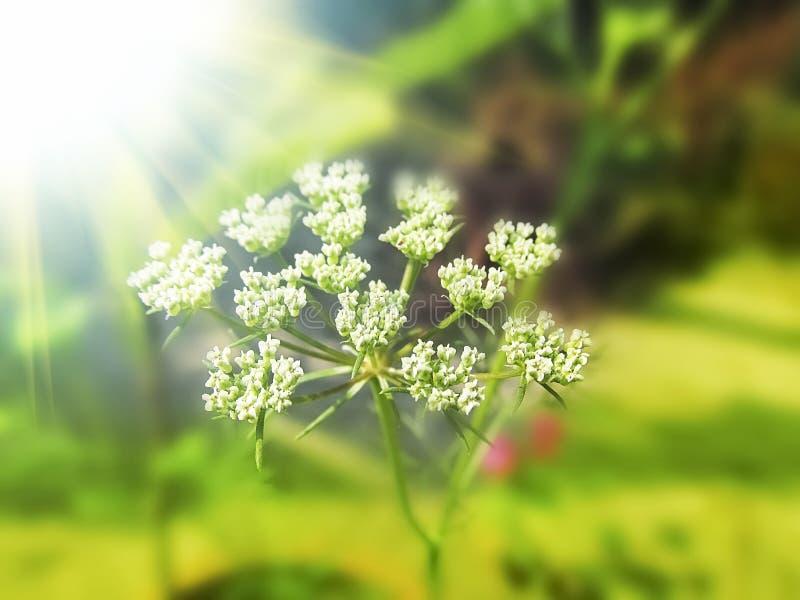 Dessus fleurissant de graine de fenouil dans la lumière de jour ensoleillé photographie stock