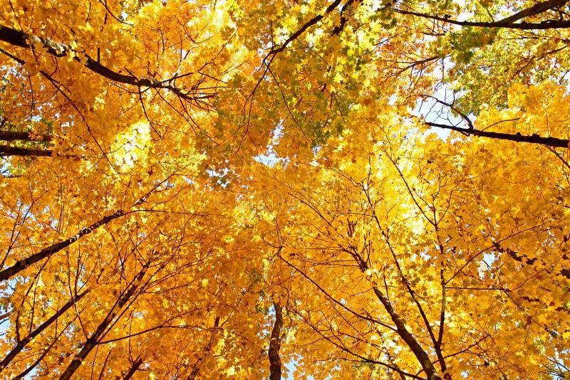 Dessus jaunes lumineux de couronne d'érable en automne image libre de droits