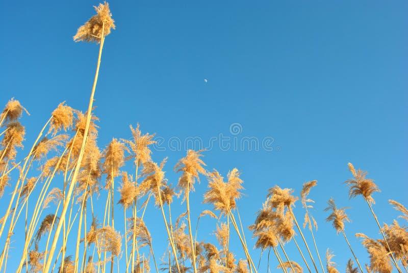 Dessus secs de roseaux sur le fond du ciel bleu avec la petite lune blanche, vue de la terre sur le dessus images libres de droits