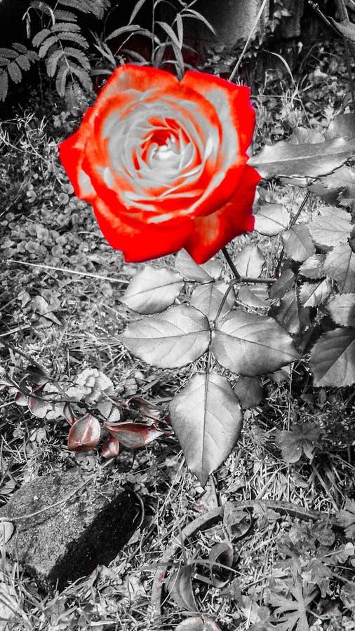 Destaque da flor da cor foto de stock royalty free