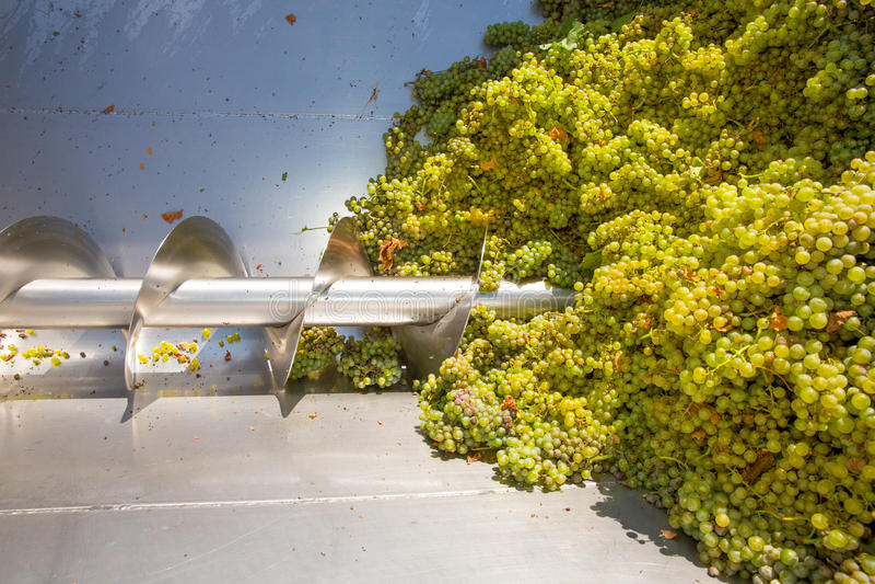 Destemmer de broyeur de tire-bouchon de Chardonnay dans la vinification images libres de droits