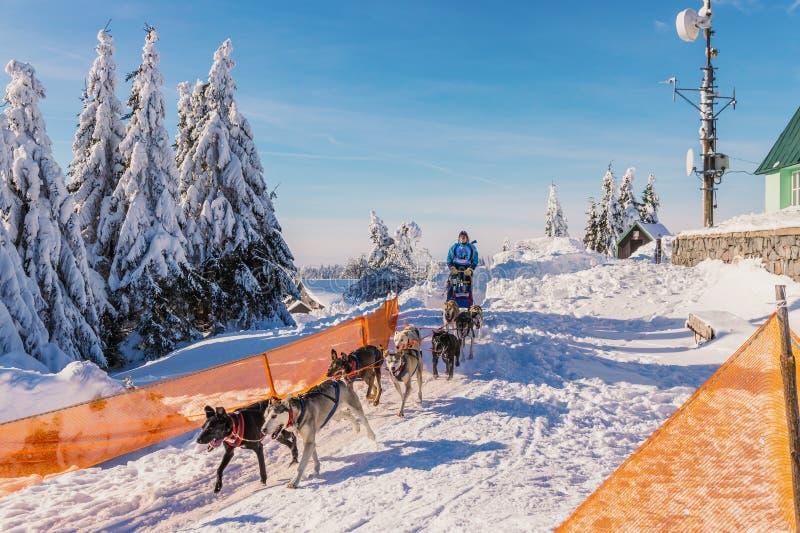 DESTNE ГОРЫ ORLIC чехословакско 23-ье января 2019 Гонки собаки Sedivaceks длинное, чехия стоковое фото