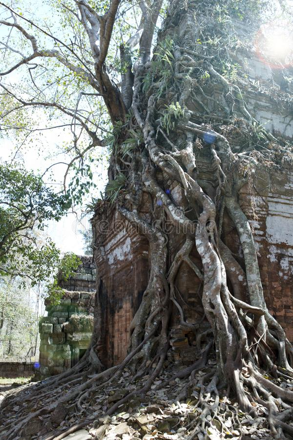 Destroyed covered with roots of trees temple Prasat Chrap in the Koh Ker temple complex, Siem Reap, Cambodia royalty free stock photo