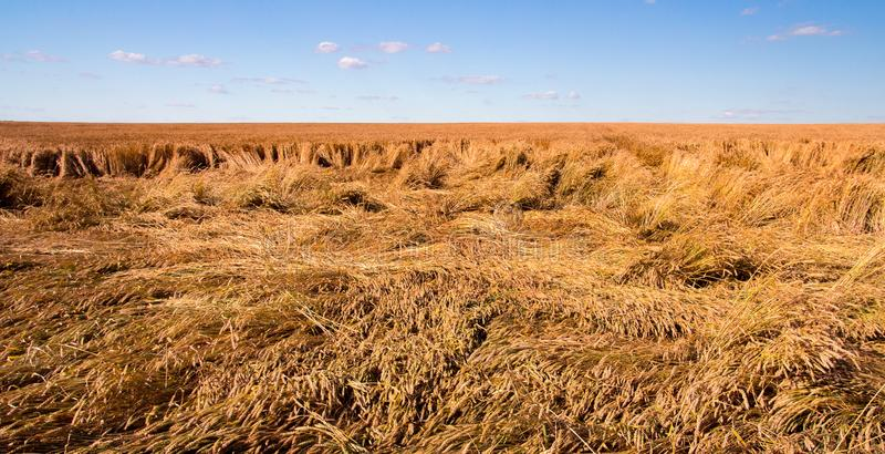 Destroyed the harvest of wheat by a strong wind, a field spoiled by a hurricane. On the farm royalty free stock image