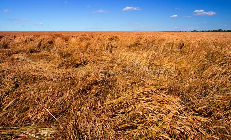Destroyed the harvest of wheat by a strong wind, a field spoiled by a hurricane. On the farm stock photo