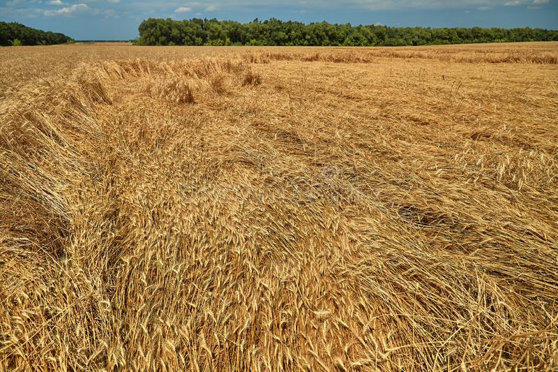 Destroyed the harvest of wheat by a strong wind, a field spoiled by a hurricane on the farm.  royalty free stock image