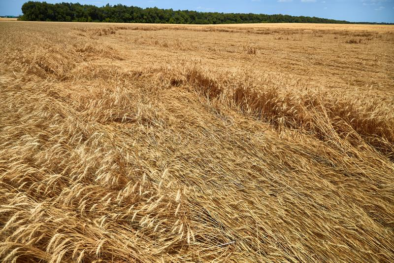 Destroyed the harvest of wheat by a strong wind, a field spoiled by a hurricane on the farm.  stock photos