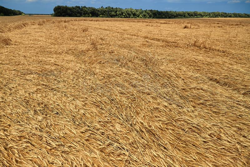 Destroyed the harvest of wheat by a strong wind, a field spoiled by a hurricane on the farm.  stock photo