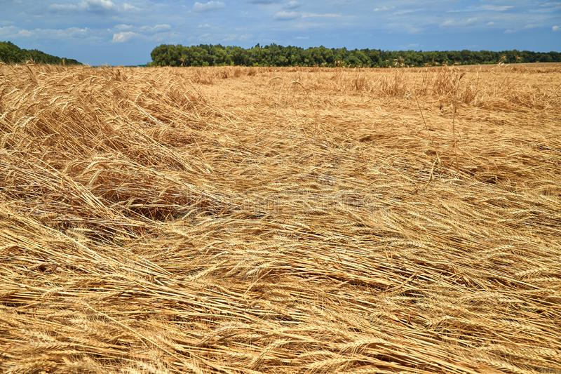 Destroyed the harvest of wheat by a strong wind, a field spoiled by a hurricane on the farm.  stock images