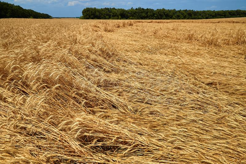 Destroyed the harvest of wheat by a strong wind, a field spoiled by a hurricane on the farm.  stock image