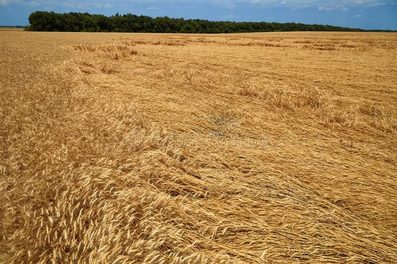 Destroyed the harvest of wheat by a strong wind, a field spoiled by a hurricane on the farm.  stock photography