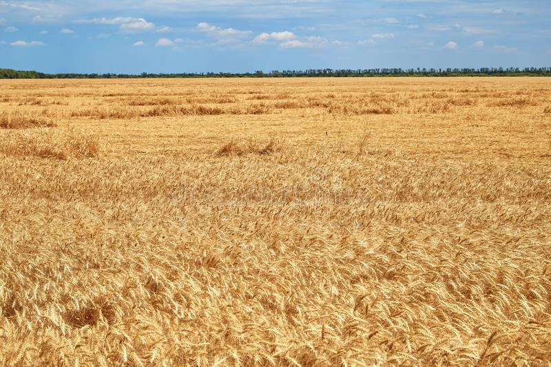 Destroyed the harvest of wheat by a strong wind, a field spoiled by a hurricane on the farm.  royalty free stock photos