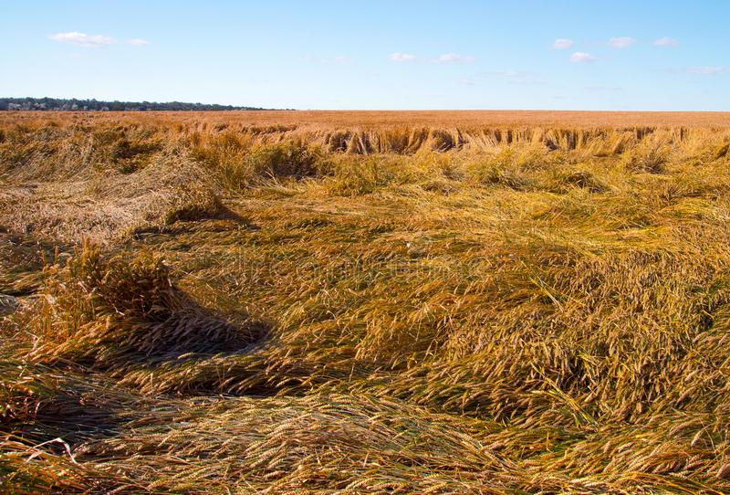 Destroyed the harvest of wheat by a strong wind, a field spoiled by a hurricane. On the farm royalty free stock images