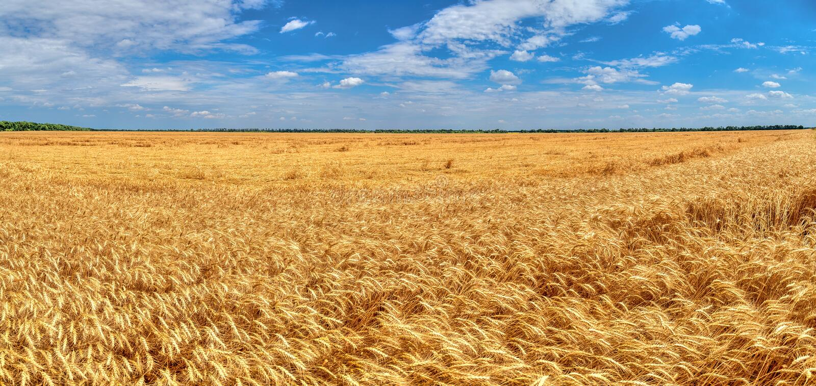 Destroyed the harvest of wheat by a strong wind, a field spoiled by a hurricane on the farm. panorama.  stock photo