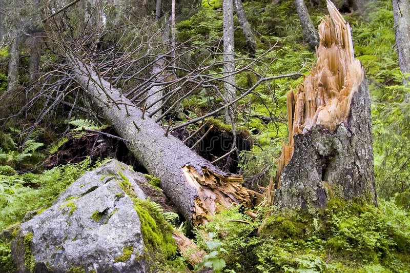 Destroyed tree. In forest after a hard storm. National park TANAP, Slovakia royalty free stock photography