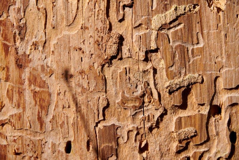 destrucción del árbol por la carcoma del bootle de la corteza del insecto fotos de archivo libres de regalías