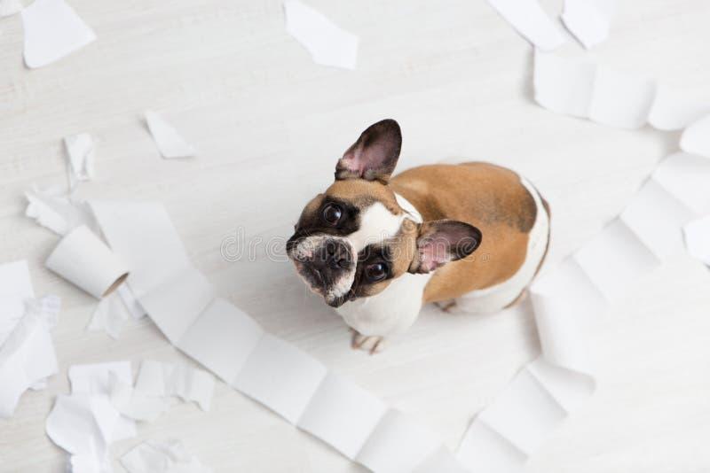 Destruction à la maison d'animal familier sur le plancher blanc de salle de bains avec un certain morceau de papier hygiénique Ph photographie stock libre de droits