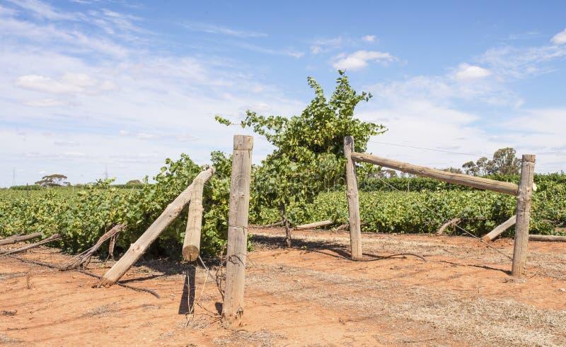 Destruction of Vineyard, Mildura, Australia. Rows of chardonnay grapevines flattened after a severe wind storm lashed vineyards in Mildura, Australia on stock images