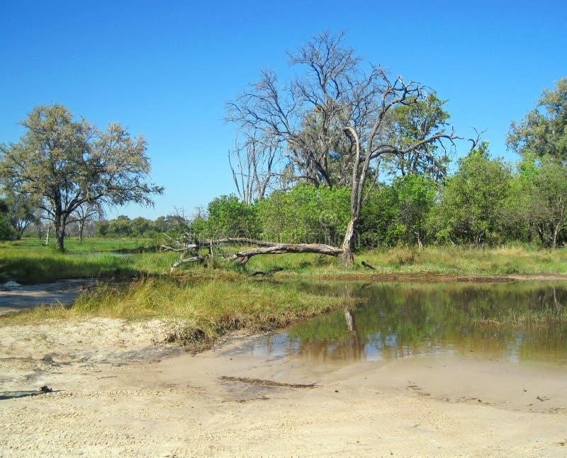 DESZCZÓWKA GROMADZĄCA W piasek drodze OBOK NIEŻYWEGO drzewa W AFRYKA fotografia stock