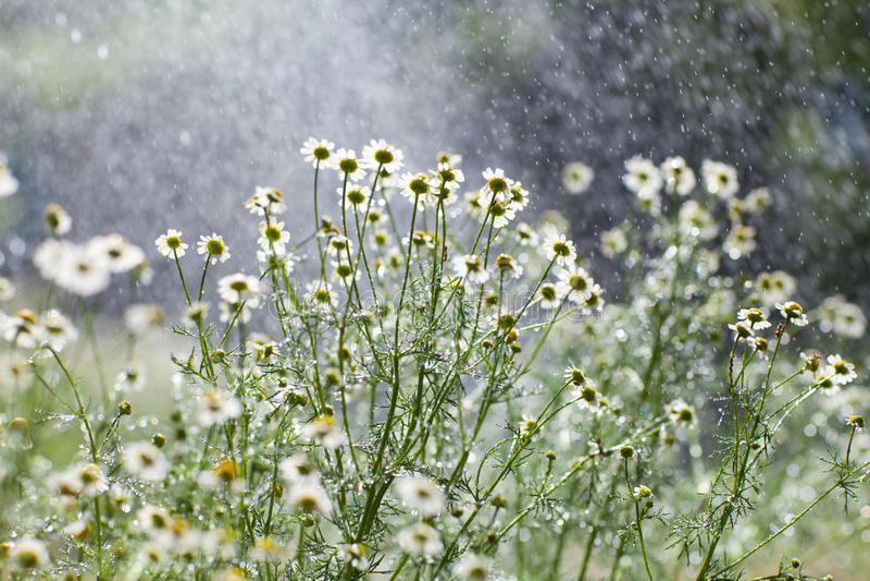 Deszcz i kwiaty obraz royalty free