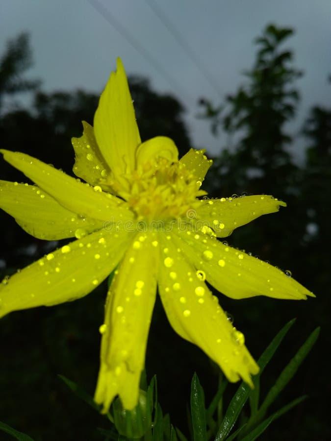 Deszcz krople na żółtym kwiacie obrazy royalty free