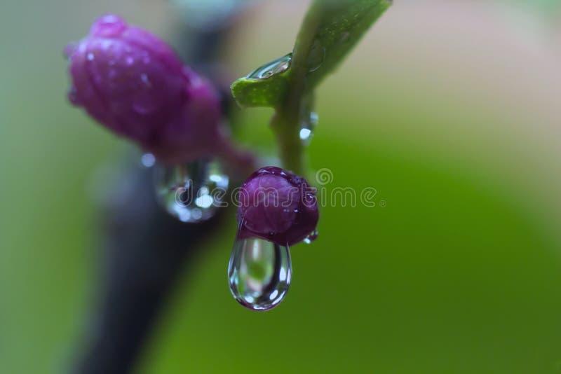 Deszcz krople na cytryny drzewa pączkach obrazy stock