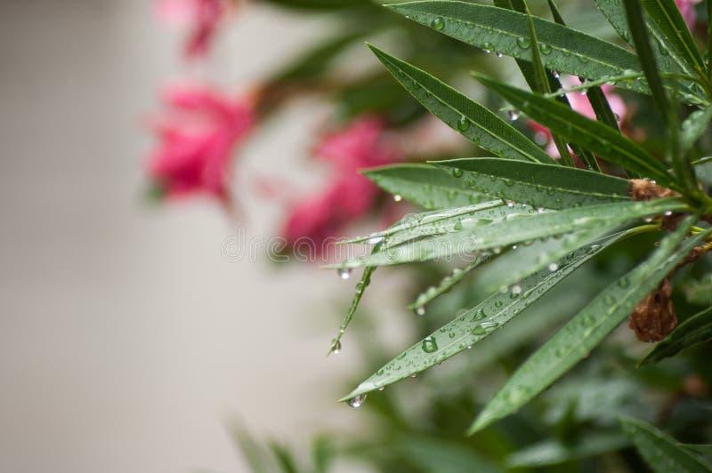 deszcz krople na różowych oleandrowych liściach zdjęcie stock