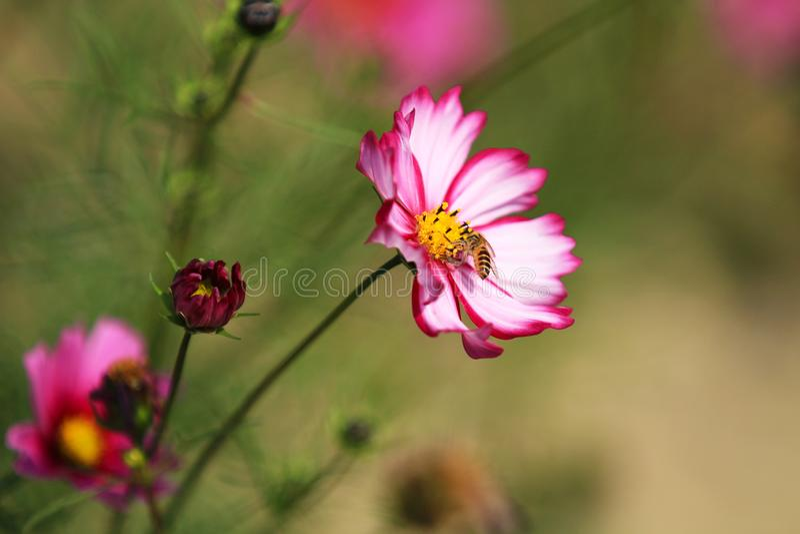 Det är blom med härliga persiska blommor i parkerar fullständigt royaltyfri foto