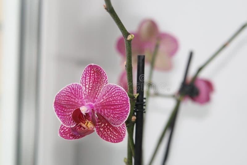 Det är en vacker Orchid på ett kallt vinterfönster royaltyfria foton