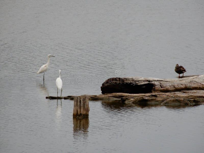 Det är om fåglar som de 2 vs 1 status hände precis ovanför sjön royaltyfria bilder