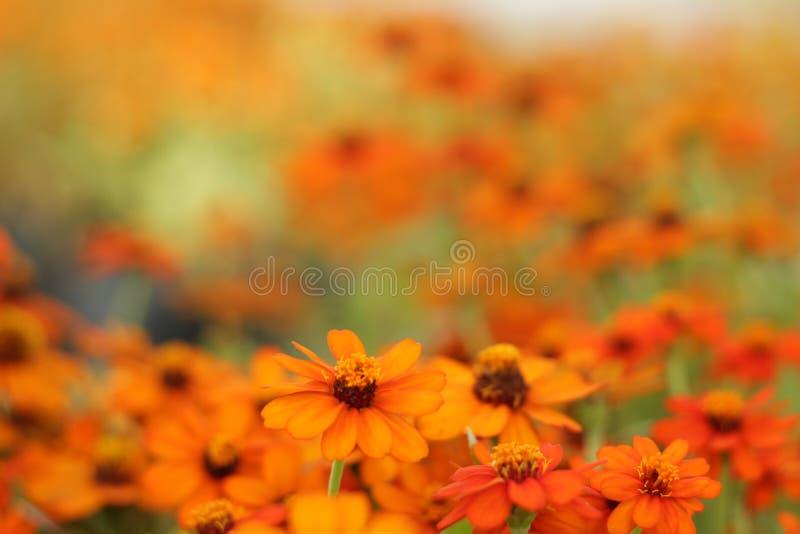 Det är orange blommor med orange bakgrund arkivfoto