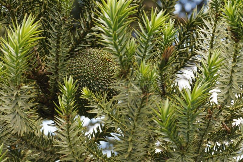 Det ätligt sörjer kottefrukt av Araucariabrasiliensisen som inte ännu är mogen arkivbilder