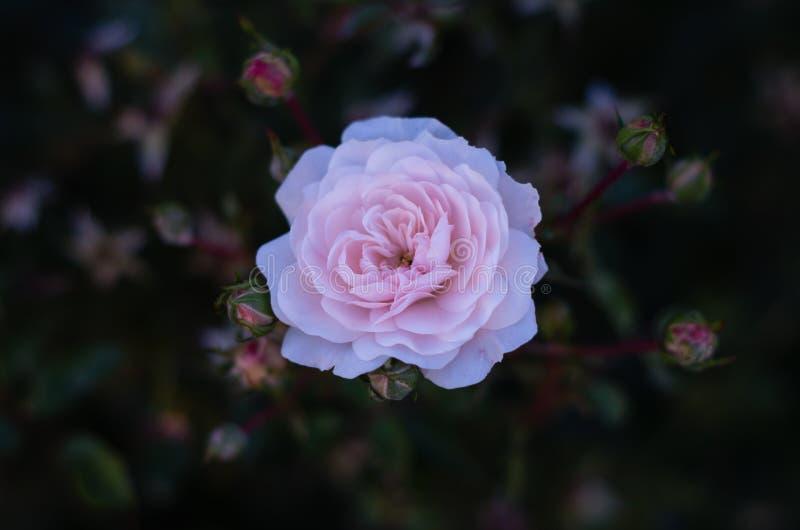 Det övre skottet av den vita rosa färgrosen på mörk bakgrund i th arkivbilder