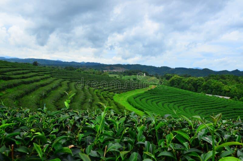 Det  gröna  teet, Choui Fong Tea, Chiangrai, Thailand royaltyfri foto