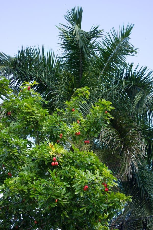 Det Akee trädet (Blighiasapida) med kungliga Florida gömma i handflatan i bakgrunden fotografering för bildbyråer