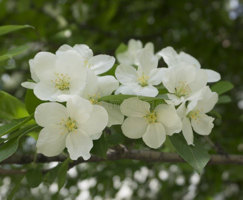 Det Apple trädet blommar vita knoppar arkivfoto