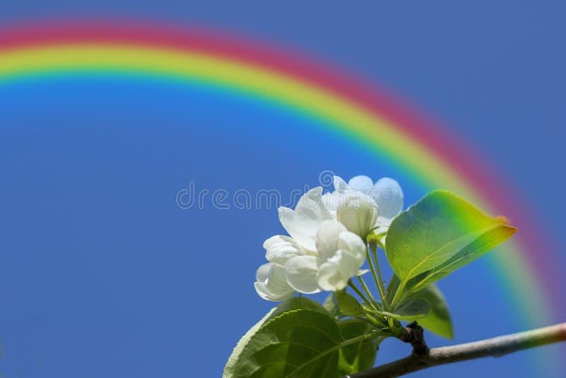 Det Apple trädet blomstrar på bakgrunden av den blåa himlen och regnbågen arkivfoto