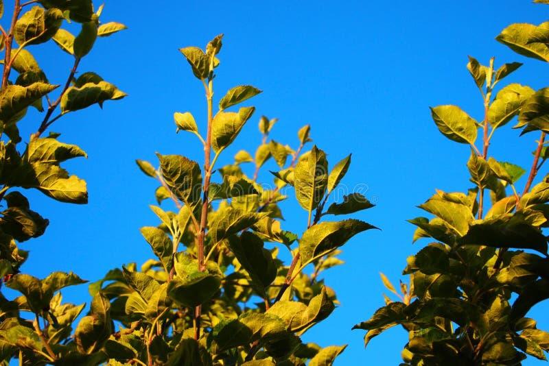 Det Apple trädet lämnar höjdpunkt upp i luften royaltyfri fotografi