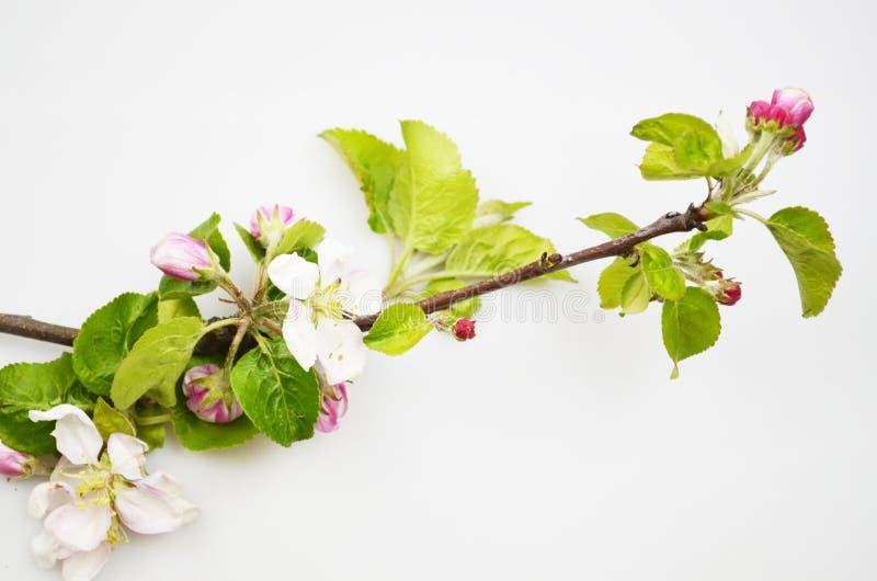 Det Apple tr?det blomstrar med gr?na sidor arkivfoton