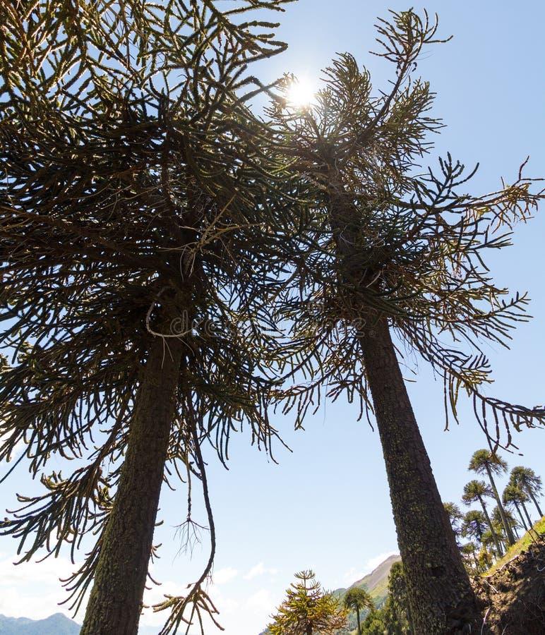Det Araucarias trädet i Malalcahuello parkerar, Chile royaltyfri fotografi