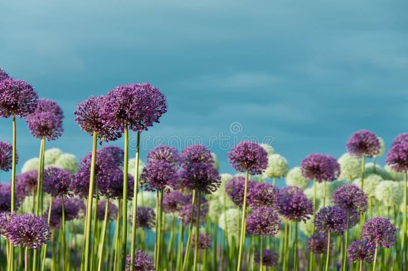 det blåa fältet blommar skyen arkivbilder