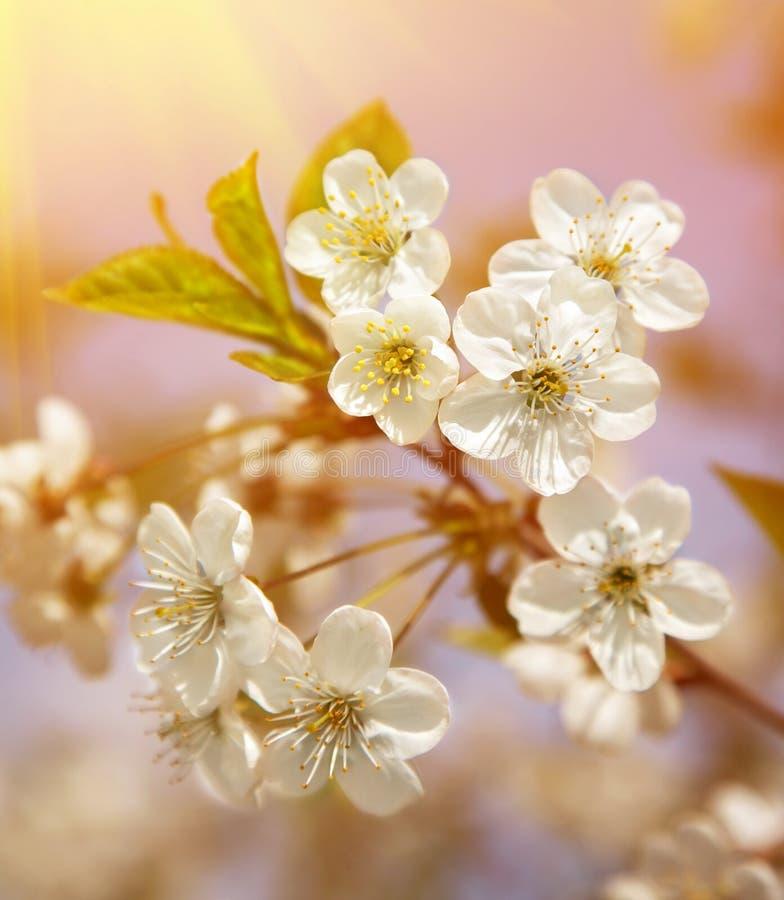 det blomma filialCherryet blommar den sakura fjädern fotografering för bildbyråer