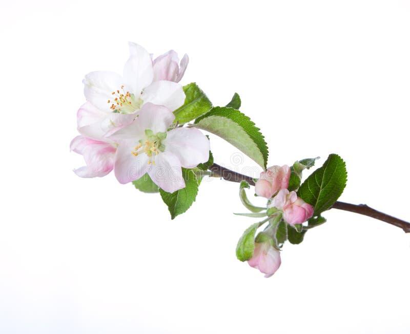 Det blommande äpplet fattar royaltyfri fotografi