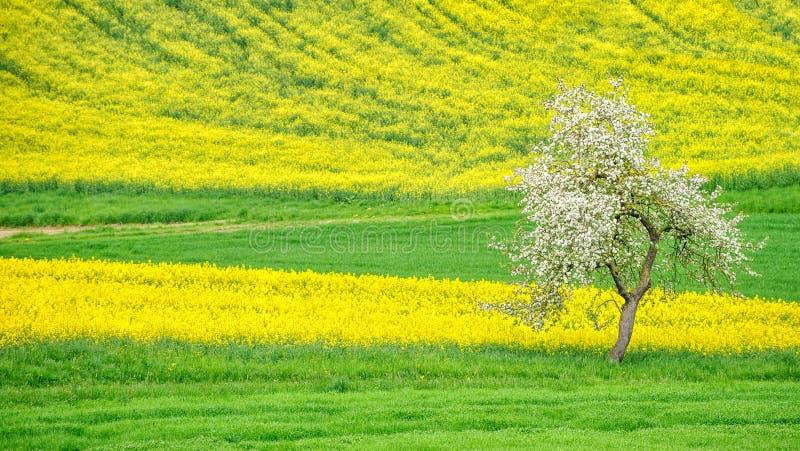 Det blommande äppleträdet på en blomning rappar fältet arkivfoto