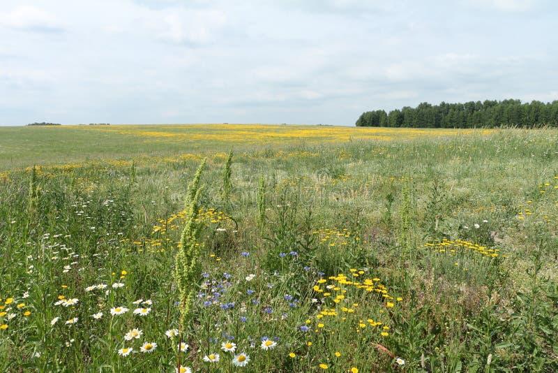Det blomstra fältet med gula blommor arkivbild