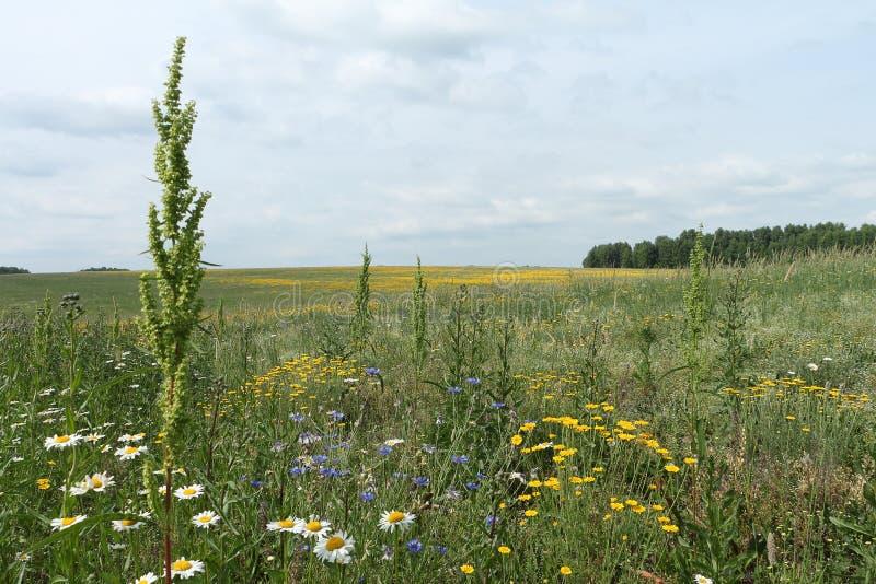 Det blomstra fältet med gula blommor royaltyfria foton